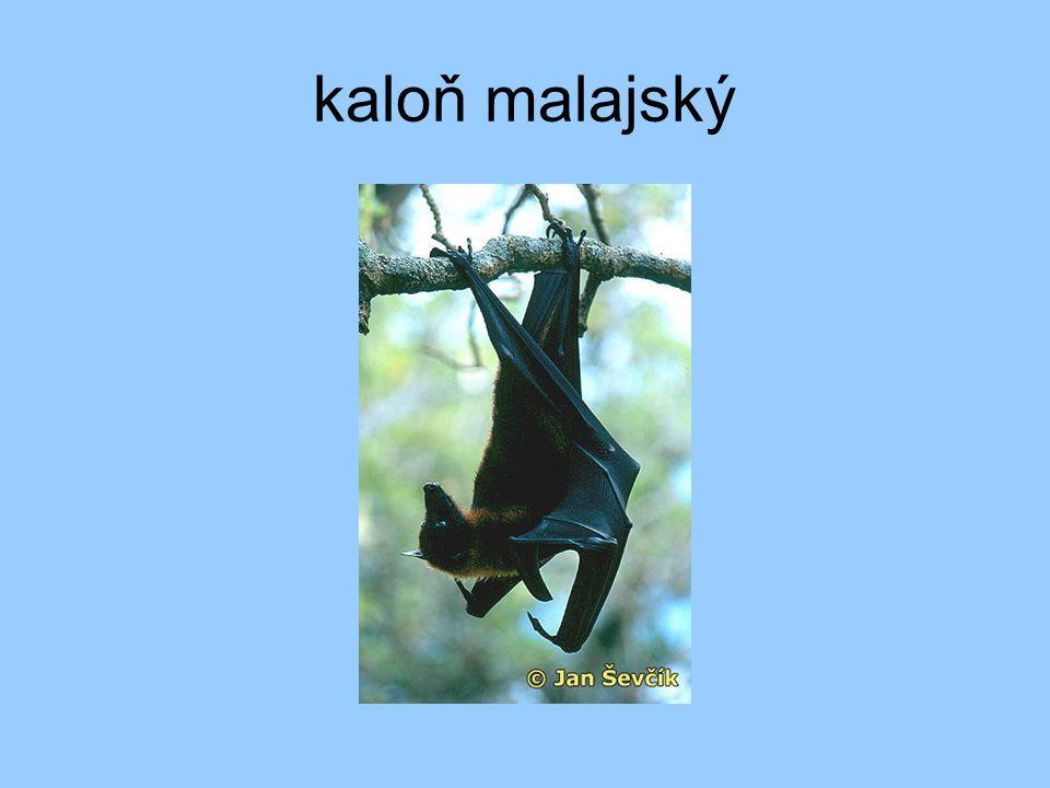 kaloň malajský