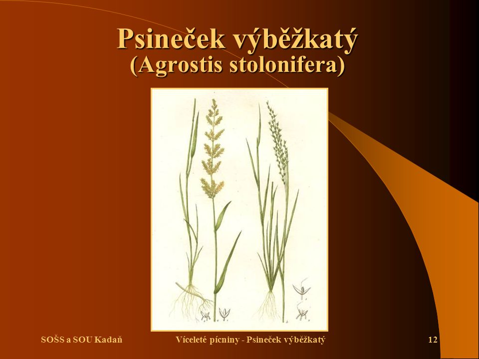 Psineček výběžkatý (Agrostis stolonifera)