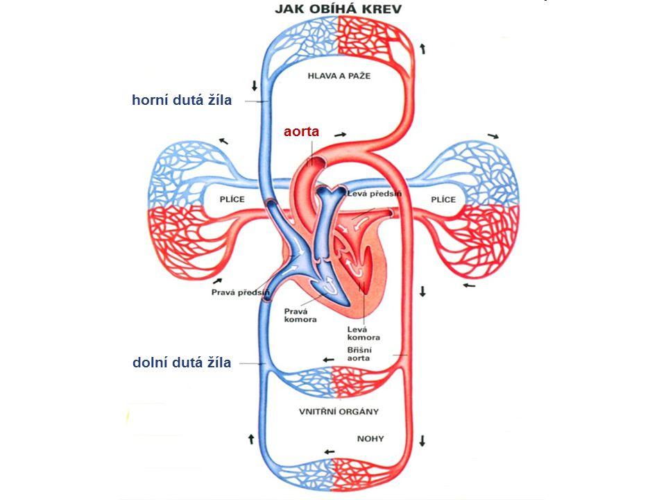horní dutá žíla aorta dolní dutá žíla