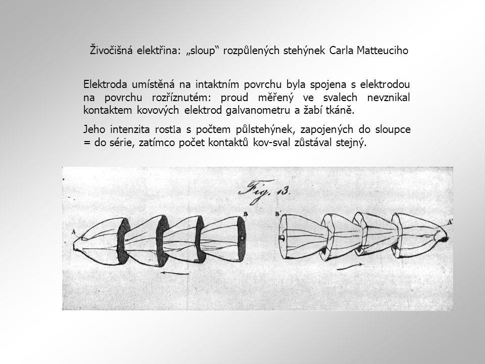 """Živočišná elektřina: """"sloup rozpůlených stehýnek Carla Matteuciho"""