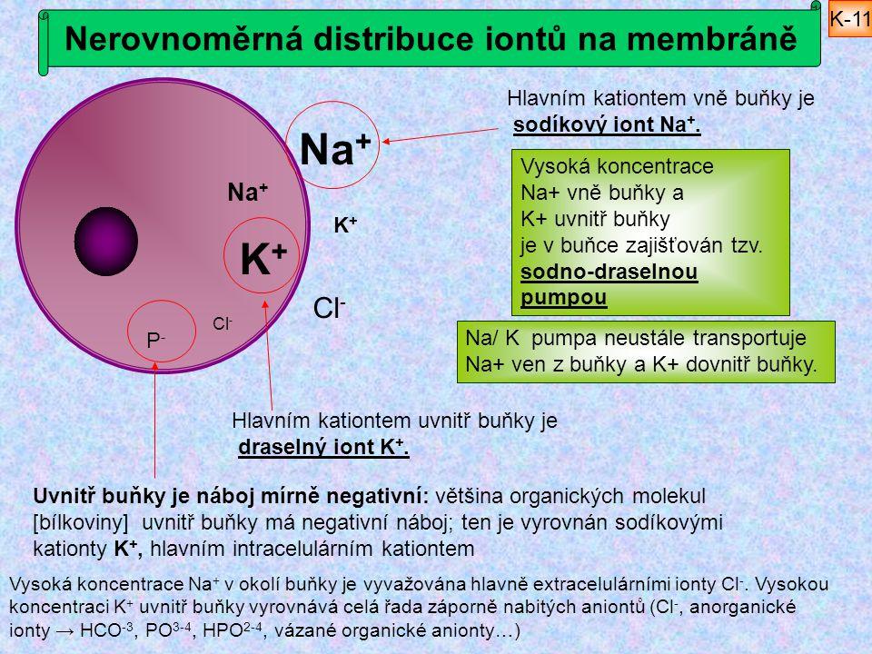 Nerovnoměrná distribuce iontů na membráně