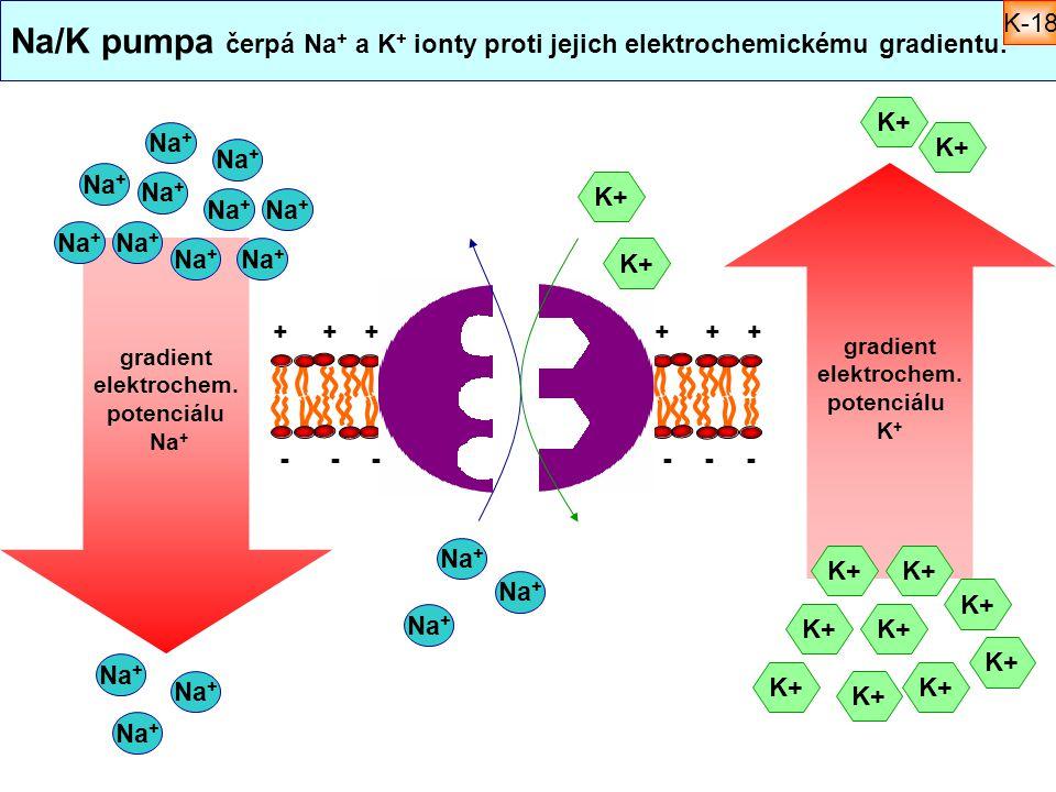 Na/K pumpa čerpá Na+ a K+ ionty proti jejich elektrochemickému gradientu.