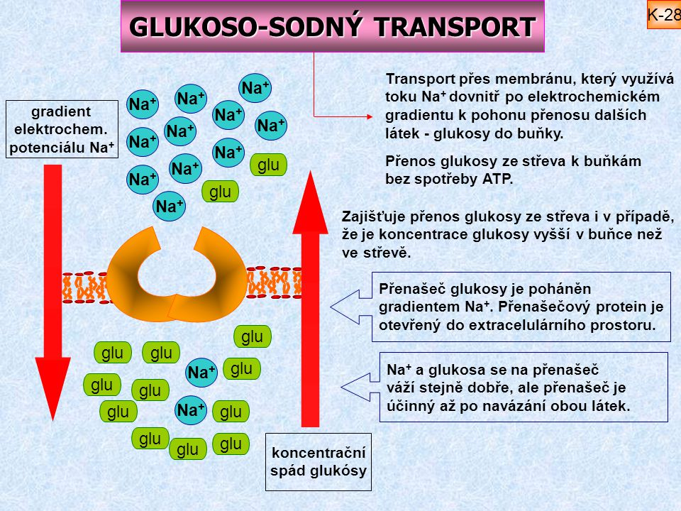 GLUKOSO-SODNÝ TRANSPORT