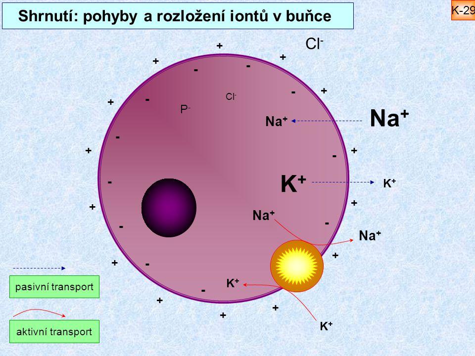 Shrnutí: pohyby a rozložení iontů v buňce