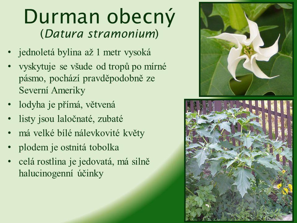 Durman obecný (Datura stramonium)