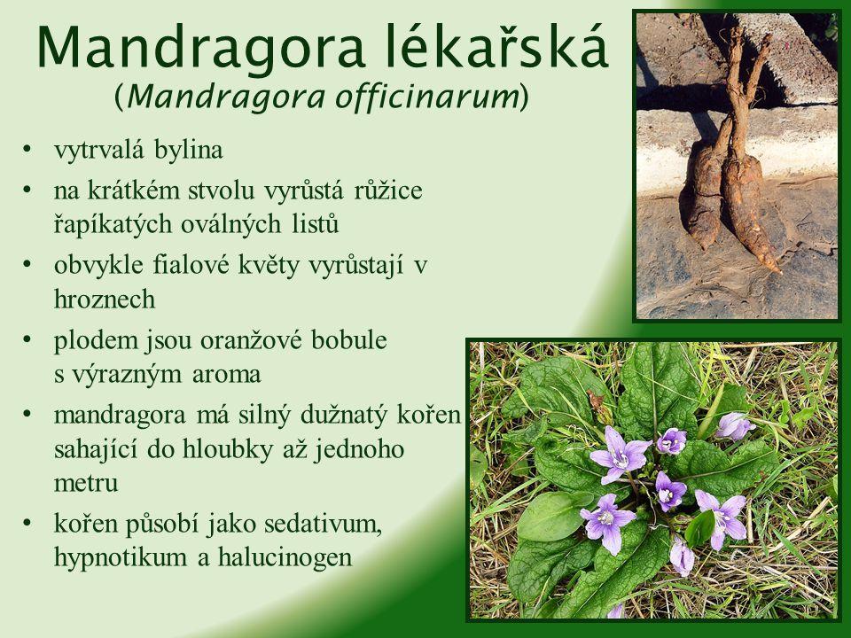 Mandragora lékařská (Mandragora officinarum)