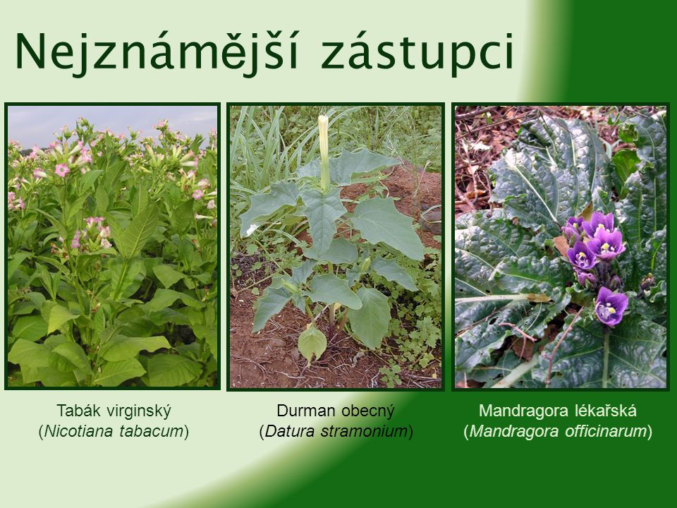 (Mandragora officinarum)