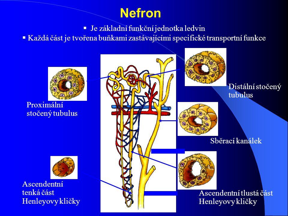 Je základní funkční jednotka ledvin
