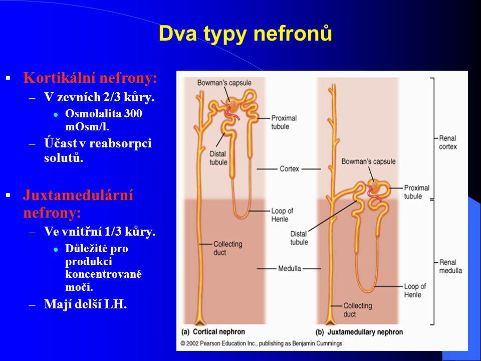 Dva typy nefronů Kortikální nefrony: Juxtamedulární nefrony: