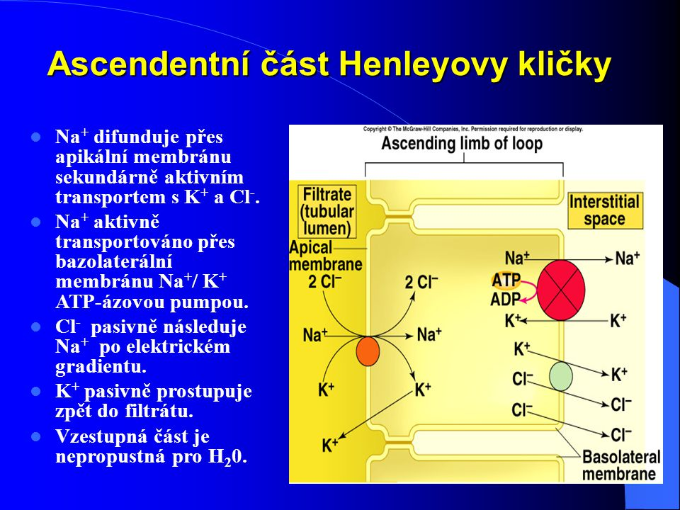 Ascendentní část Henleyovy kličky