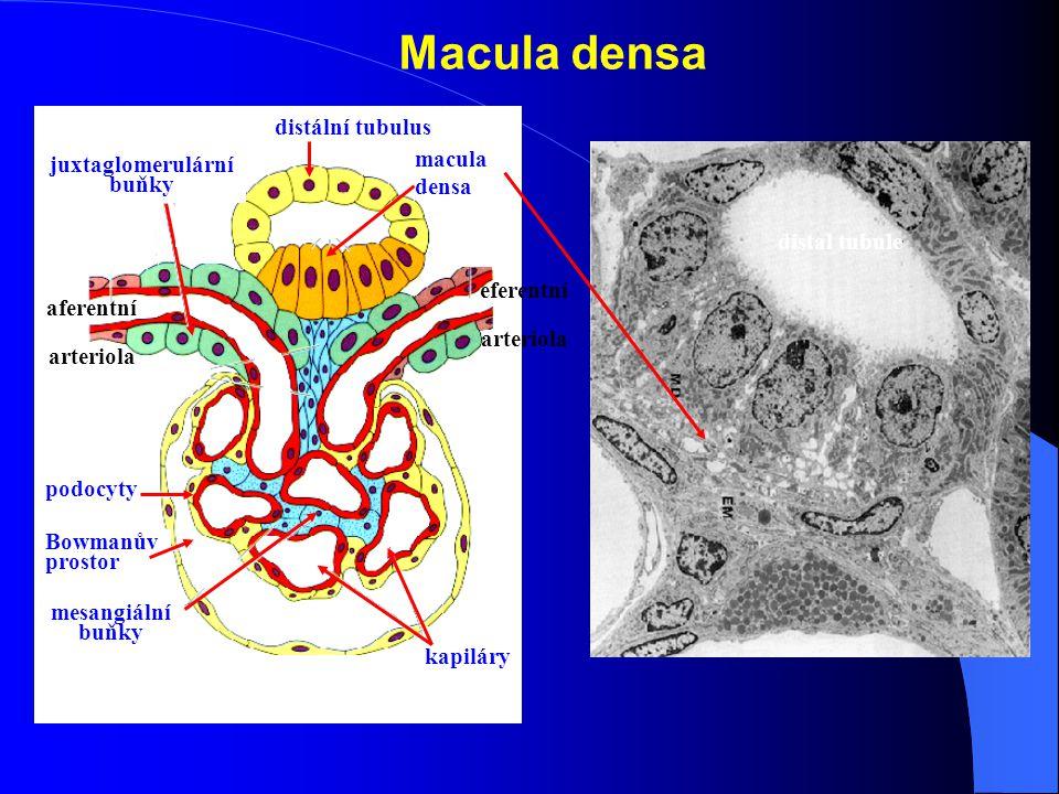juxtaglomerulární buňky
