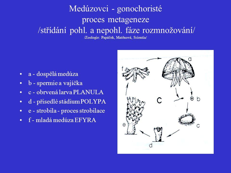 Medúzovci - gonochoristé proces metageneze /střídání pohl. a nepohl