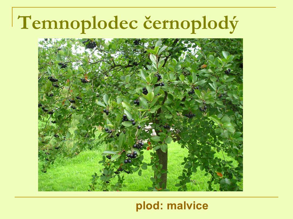 Temnoplodec černoplodý
