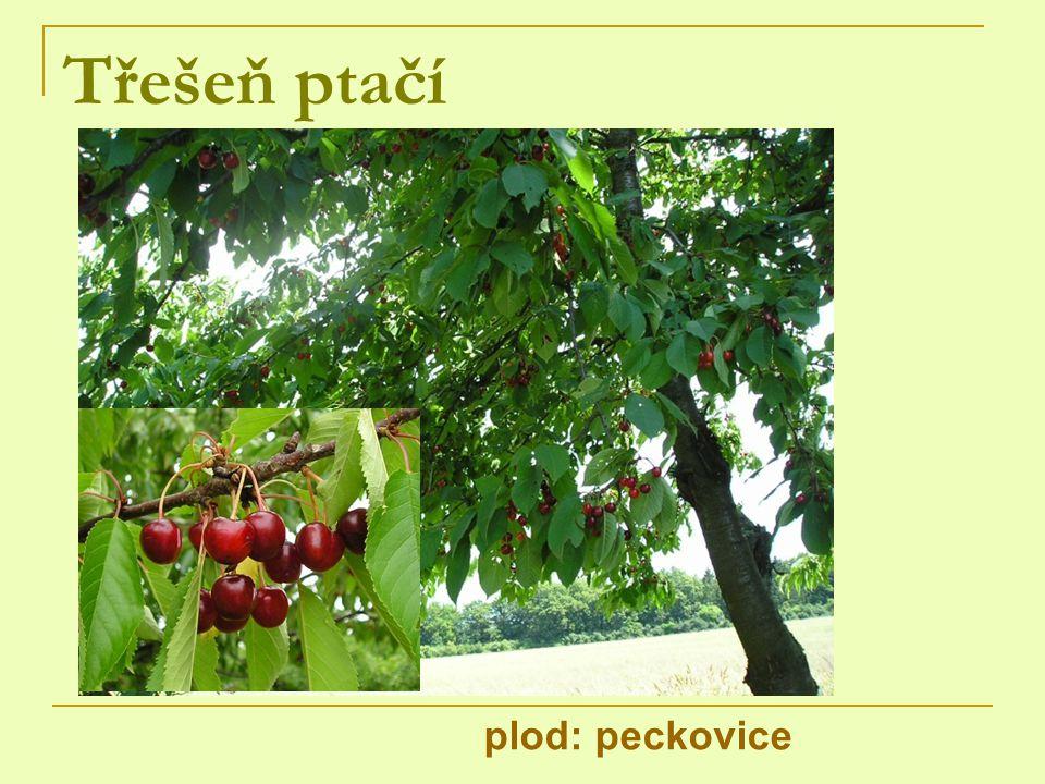 Třešeň ptačí plod: peckovice