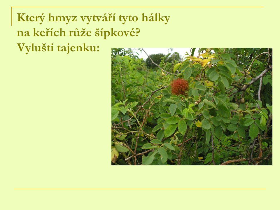 Který hmyz vytváří tyto hálky na keřích růže šípkové Vylušti tajenku: