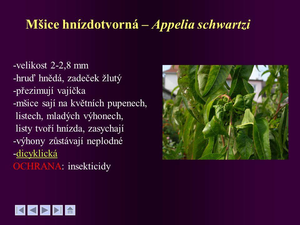 Mšice hnízdotvorná – Appelia schwartzi