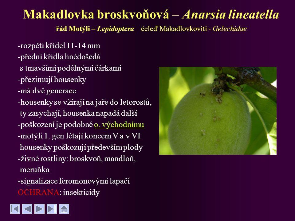 Makadlovka broskvoňová – Anarsia lineatella řád Motýli – Lepidoptera čeleď Makadlovkovití - Gelechidae