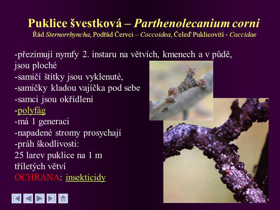 Puklice švestková – Parthenolecanium corni Řád Sternorrhyncha, Podřád Červci – Coccoidea, Čeleď Puklicovití - Coccidae