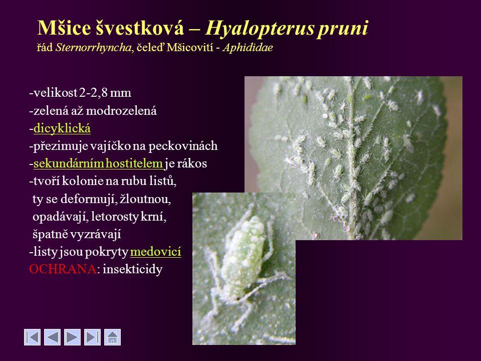 Mšice švestková – Hyalopterus pruni řád Sternorrhyncha, čeleď Mšicovití - Aphididae