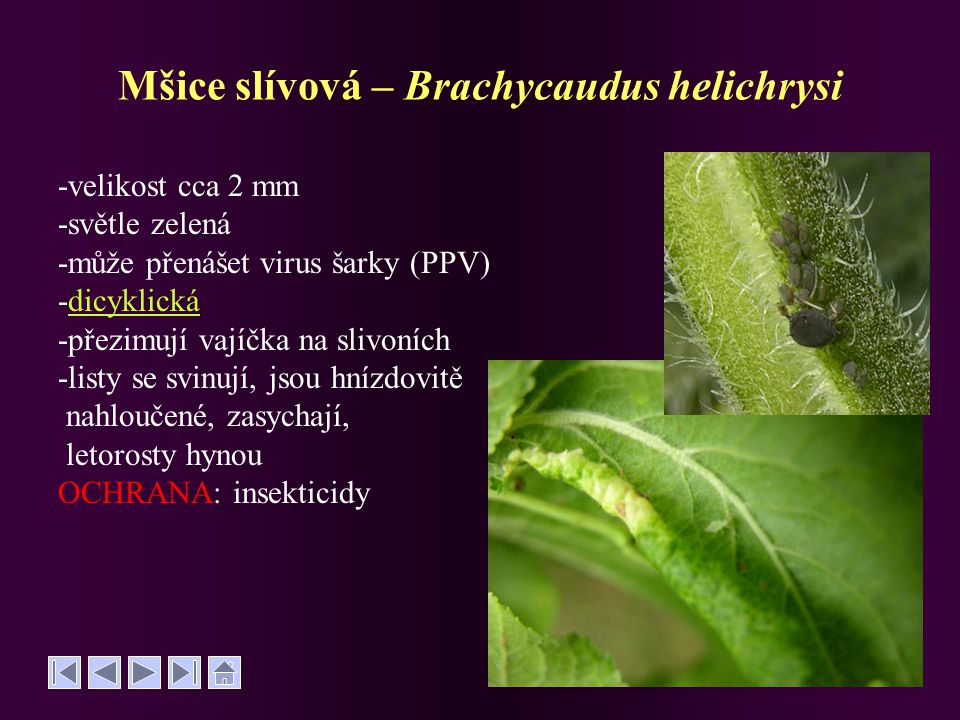 Mšice slívová – Brachycaudus helichrysi