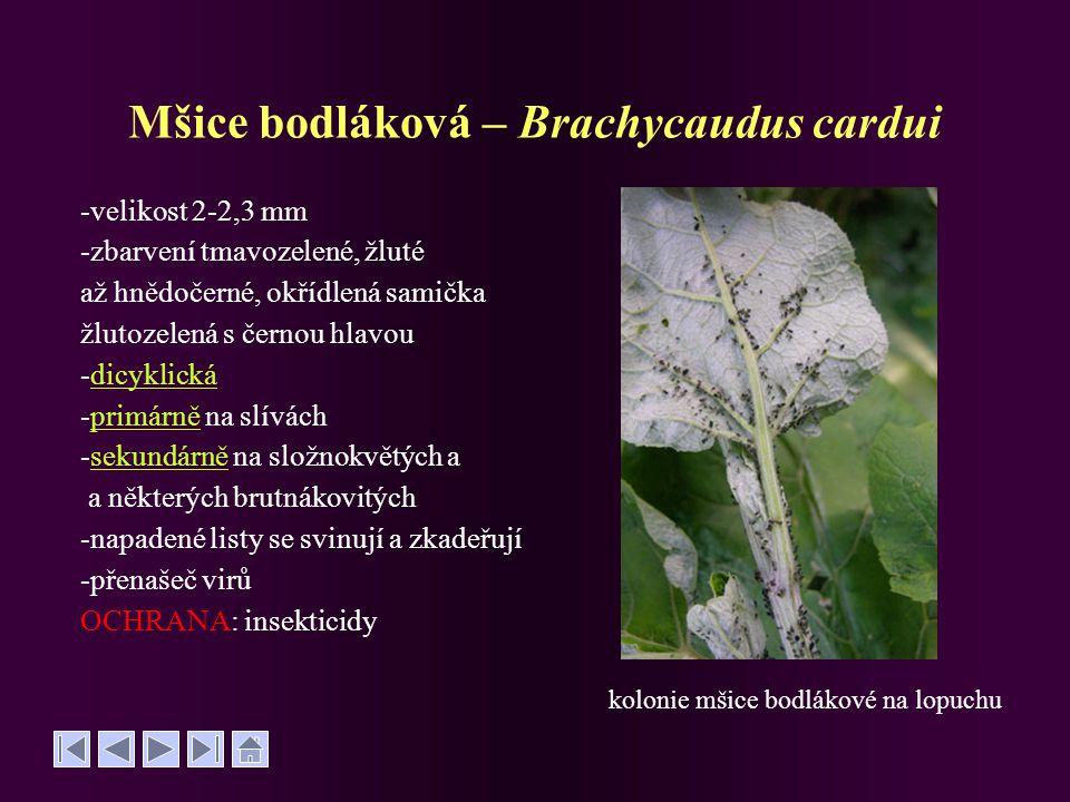 Mšice bodláková – Brachycaudus cardui