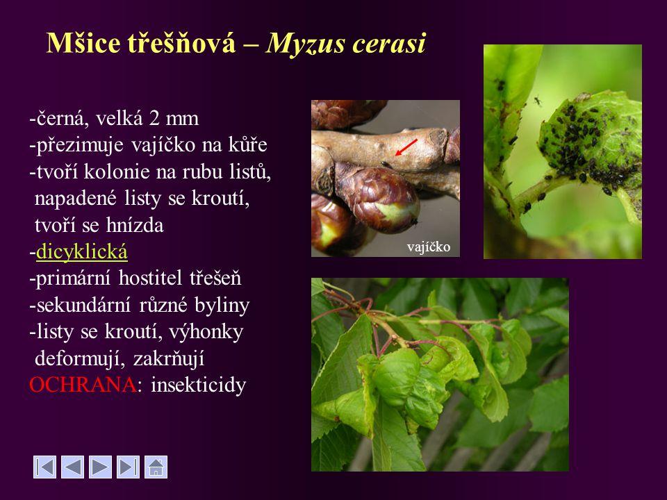 Mšice třešňová – Myzus cerasi