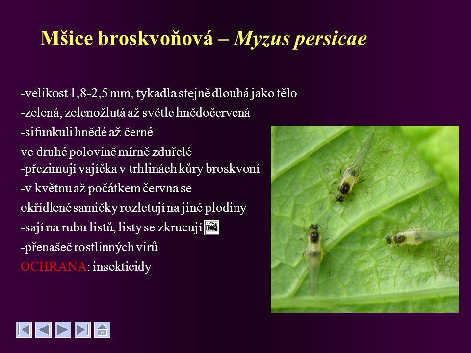 Mšice broskvoňová – Myzus persicae