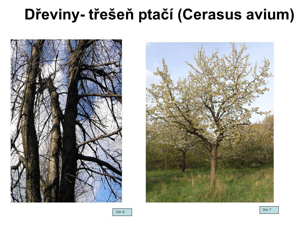 Dřeviny- třešeň ptačí (Cerasus avium)