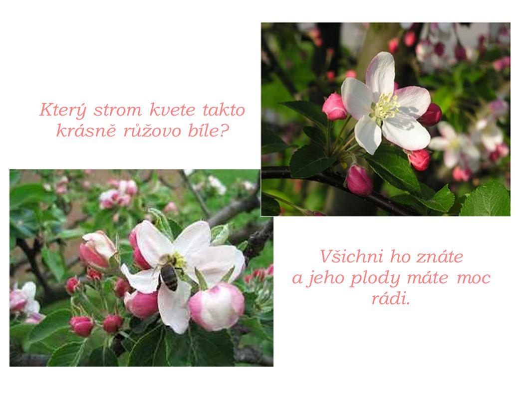 Který strom kvete takto krásně růžovo bíle