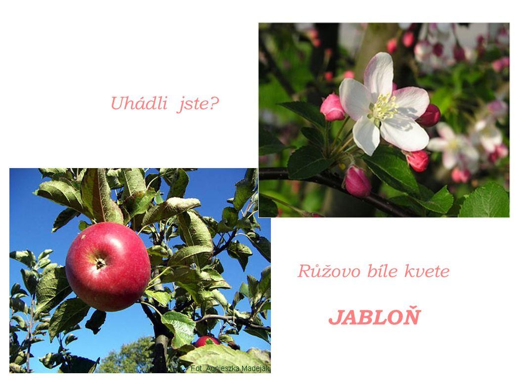 Růžovo bíle kvete JABLOŇ