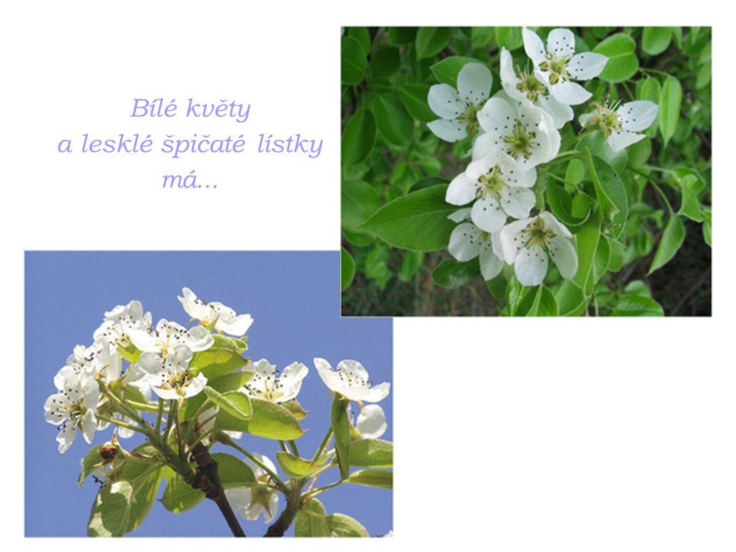 Bílé květy a lesklé špičaté lístky má...