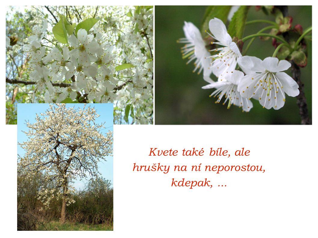 Kvete také bíle, ale hrušky na ní neporostou, kdepak, ...