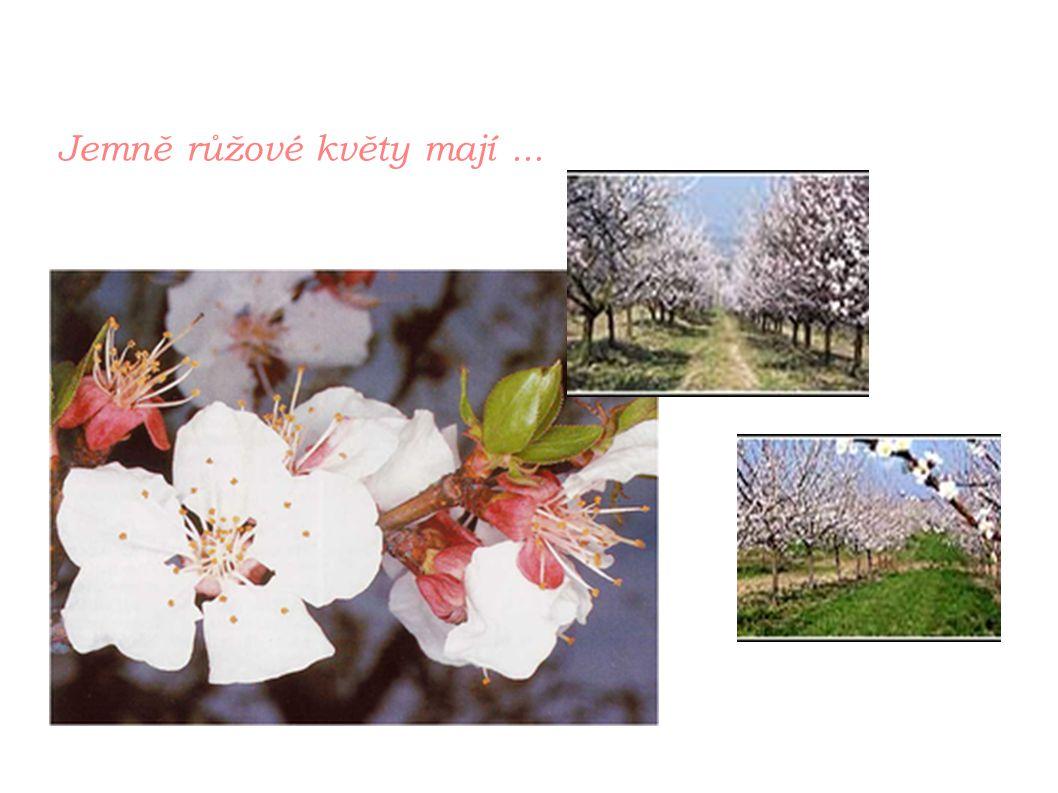 Jemně růžové květy mají ...
