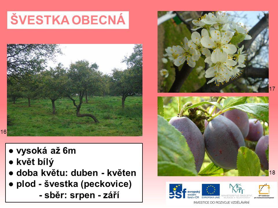 ŠVESTKA OBECNÁ ● vysoká až 6m ● květ bílý ● doba květu: duben - květen