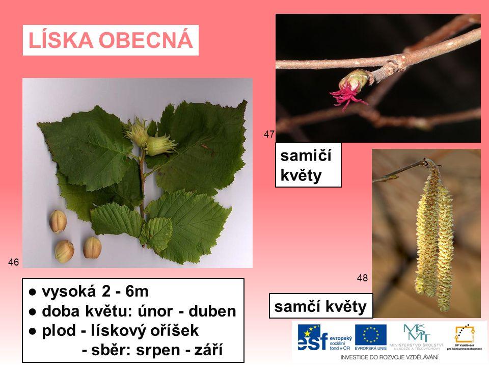 LÍSKA OBECNÁ samičí květy ● vysoká 2 - 6m ● doba květu: únor - duben
