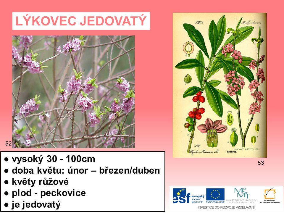 LÝKOVEC JEDOVATÝ ● vysoký 30 - 100cm ● doba květu: únor – březen/duben