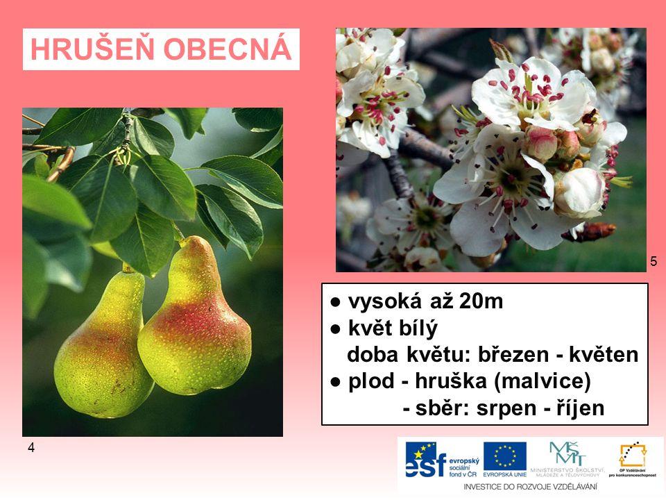 HRUŠEŇ OBECNÁ ● vysoká až 20m ● květ bílý doba květu: březen - květen