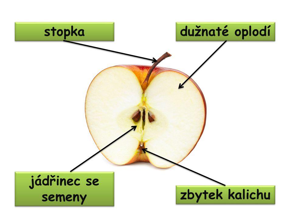 stopka dužnaté oplodí jádřinec se semeny zbytek kalichu
