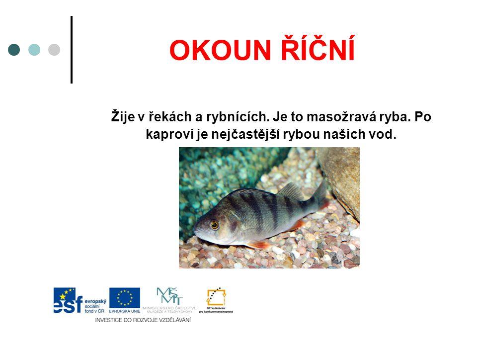 OKOUN ŘÍČNÍ Žije v řekách a rybnících. Je to masožravá ryba.