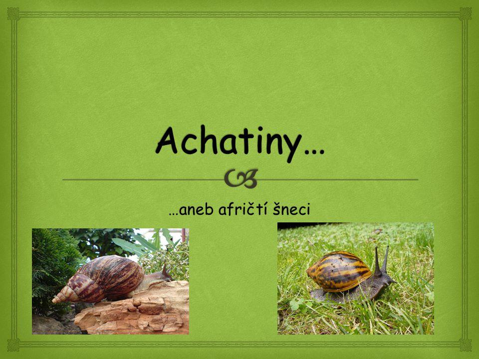 Achatiny… …aneb afričtí šneci