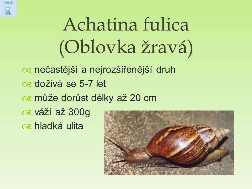 Achatina fulica (Oblovka žravá)