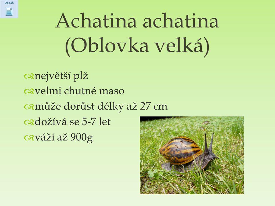Achatina achatina (Oblovka velká)