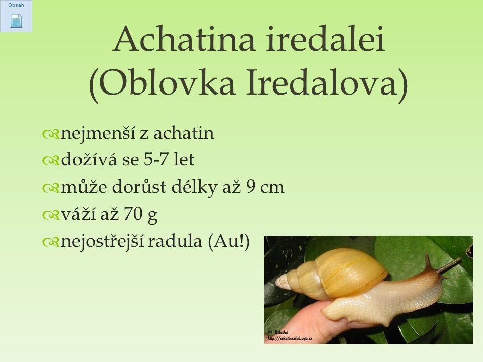 Achatina iredalei (Oblovka Iredalova)