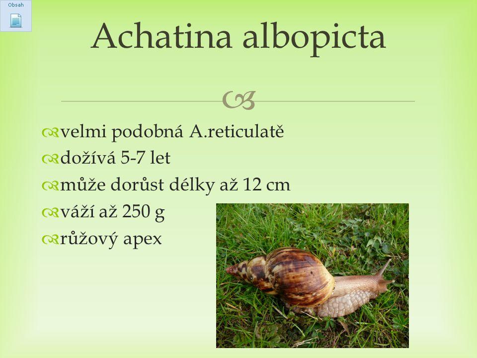 Achatina albopicta velmi podobná A.reticulatě dožívá 5-7 let