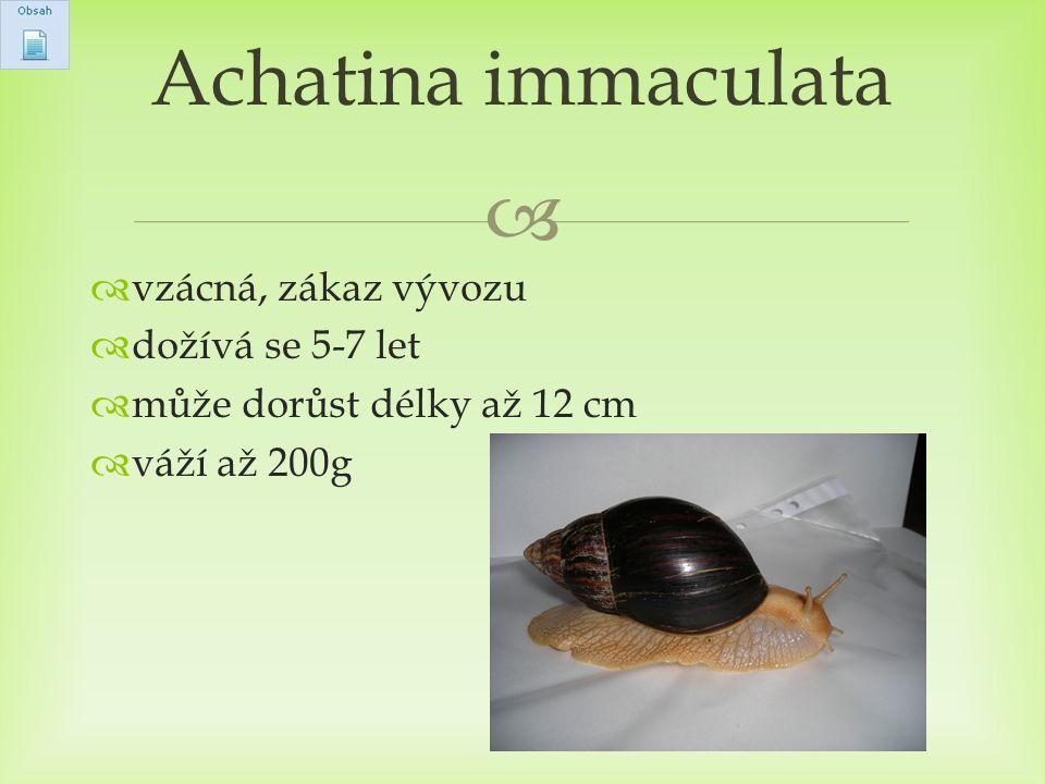 Achatina immaculata vzácná, zákaz vývozu dožívá se 5-7 let