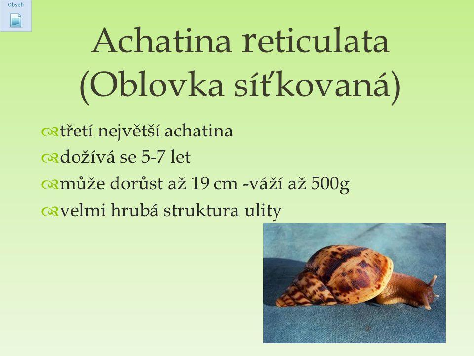 Achatina reticulata (Oblovka síťkovaná)