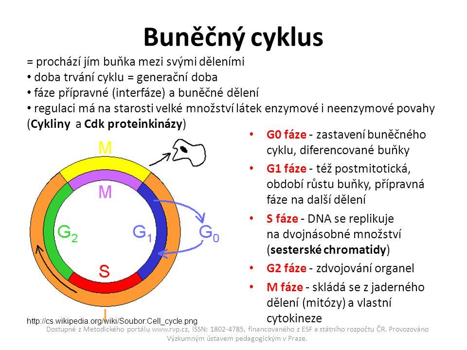 Buněčný cyklus = prochází jím buňka mezi svými děleními