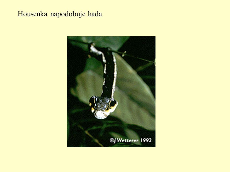Housenka napodobuje hada