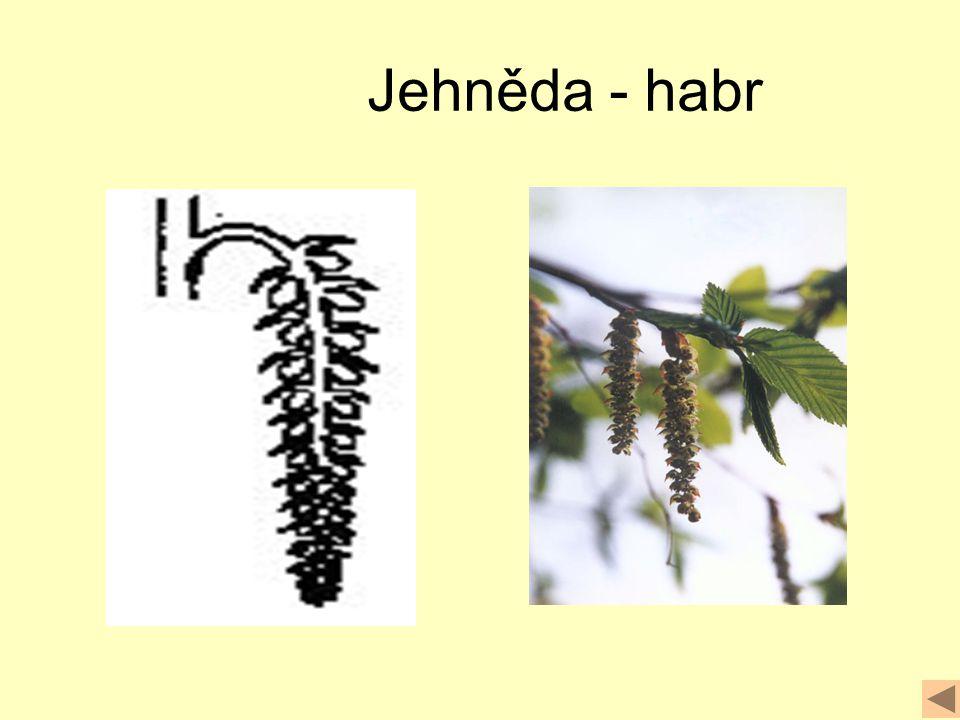 Jehněda - habr