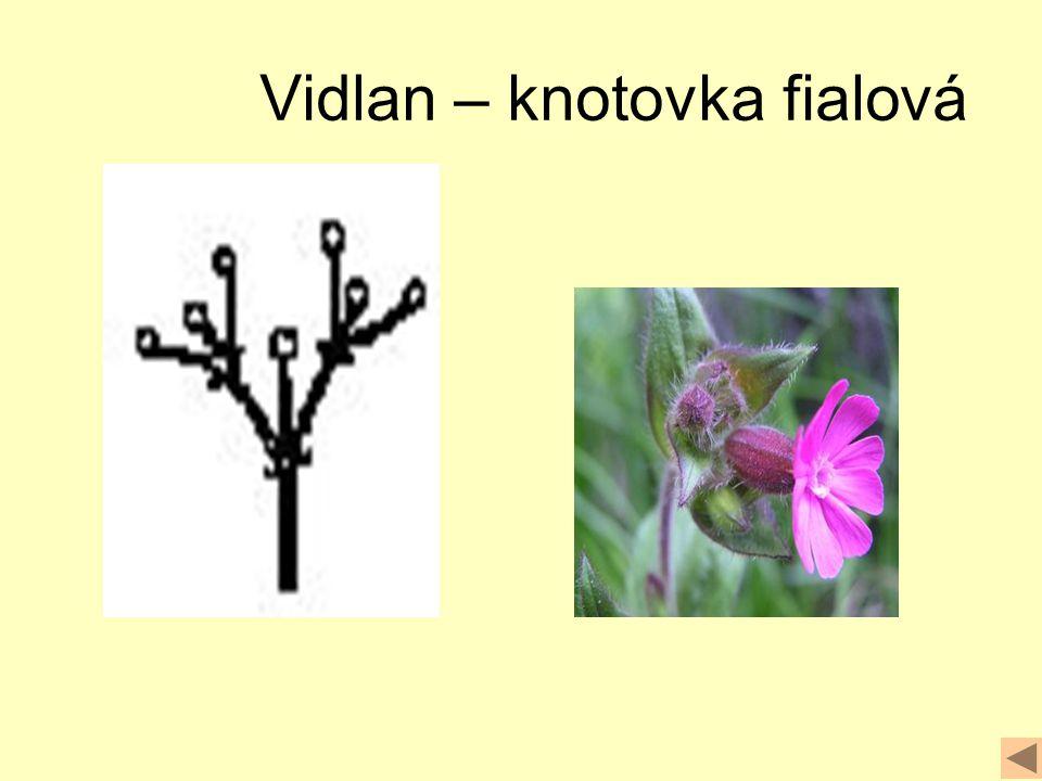 Vidlan – knotovka fialová